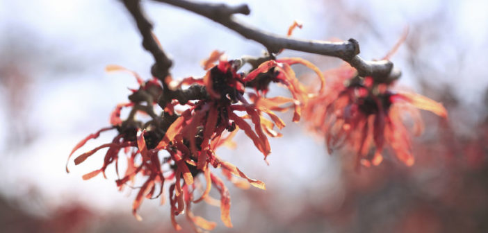 natural beauty ingredients witch hazel
