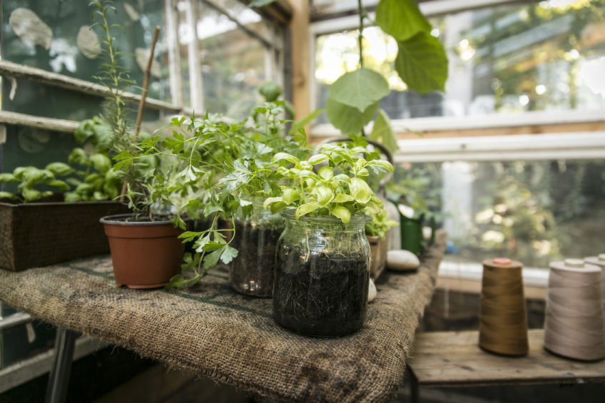 31733035 - greenhouse with herbs (basil, parsley, oregano)