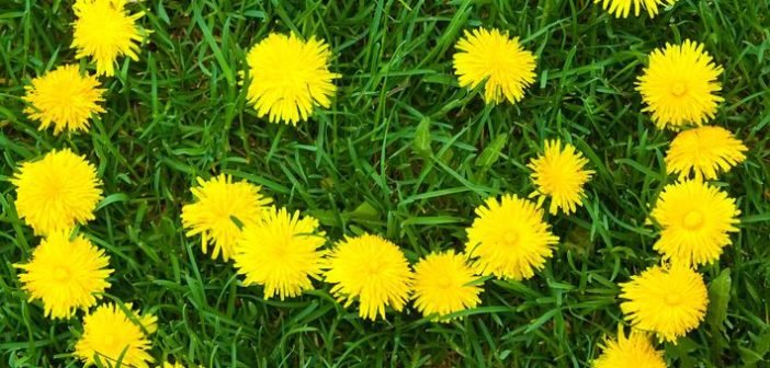 7662753 - close-up of dandelion flower's smiley at the field