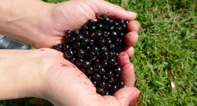 Maqui Berry Under The Radar Antioxidant With Powerful Benefits