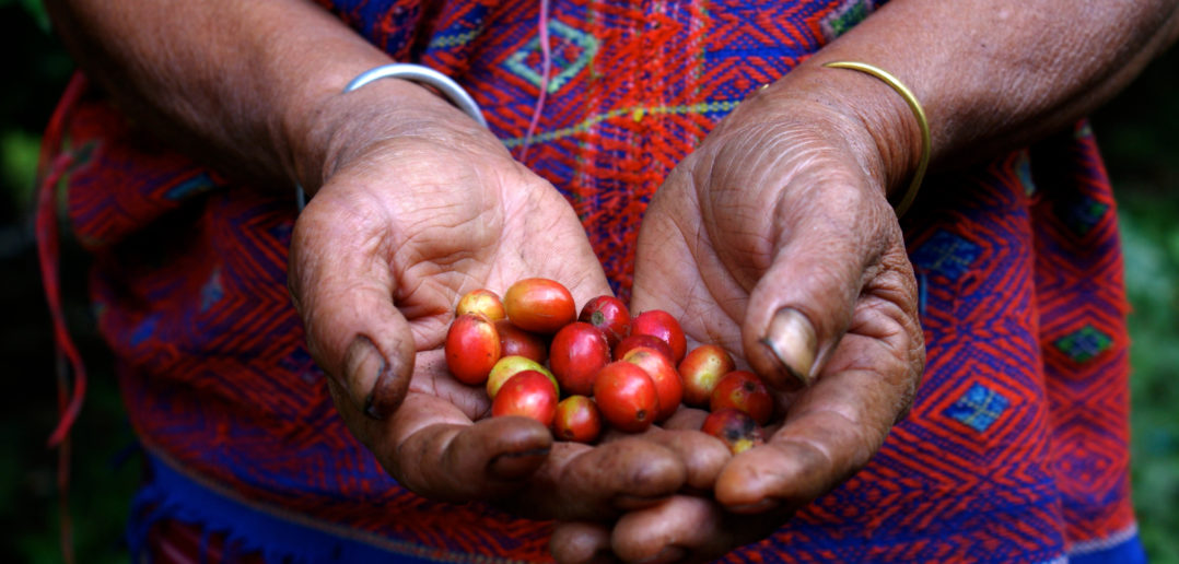 Close up of the hands of a local Thai coffee farmer with red beans she just got from a coffee tree in the jungle.