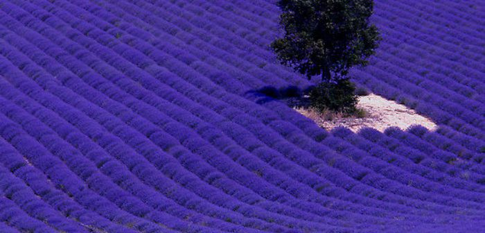 Sleep in a Field Of Lush Lavender