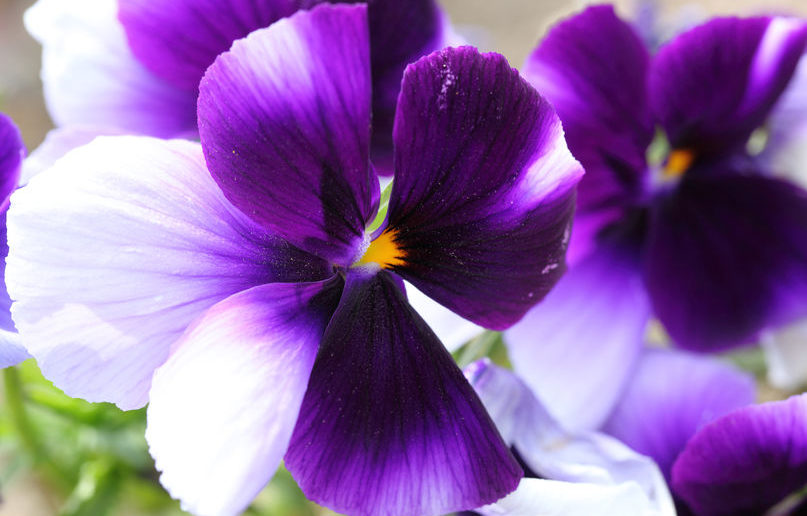 40273870 - beautiful violet flower close up. pansies