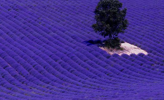 lavender-fields1-550x336-1